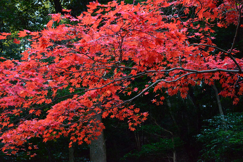 赤い秋 (香川県 仲多度郡 琴平町)