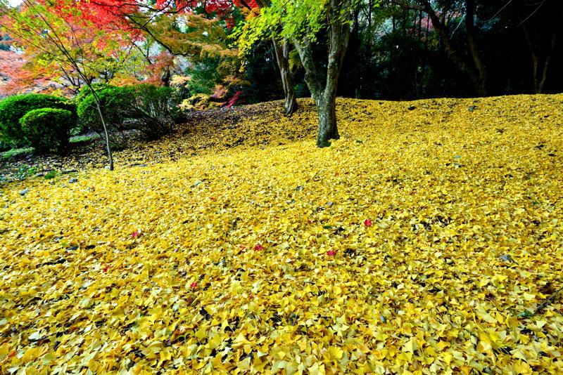 落葉に染まる (香川県 仲多度郡 琴平町)