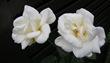 白い花110