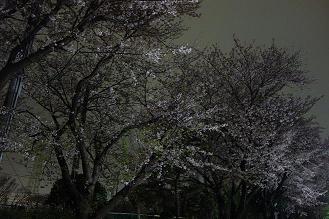Yozakura_4.jpg