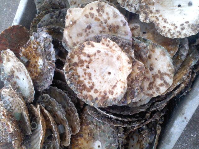 牡蠣の種付け作業 1