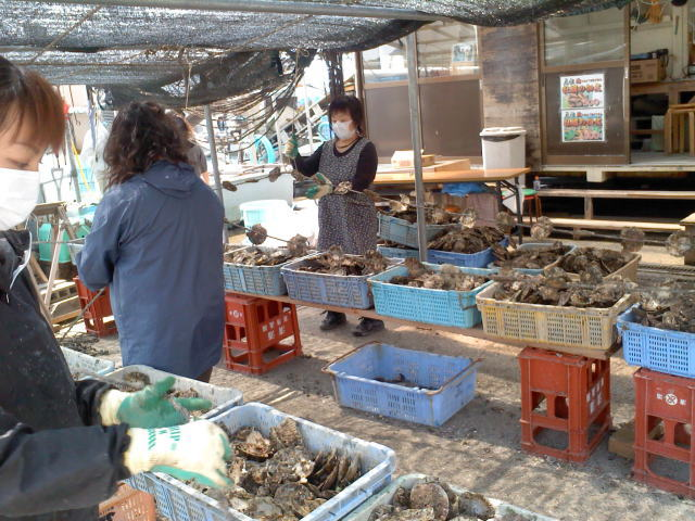 牡蠣の種付け作業 4