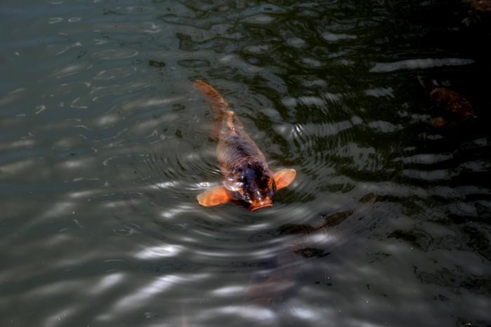 伊佐須美神社鯉