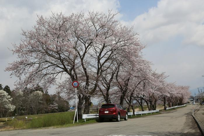 伊佐須美神社桜6