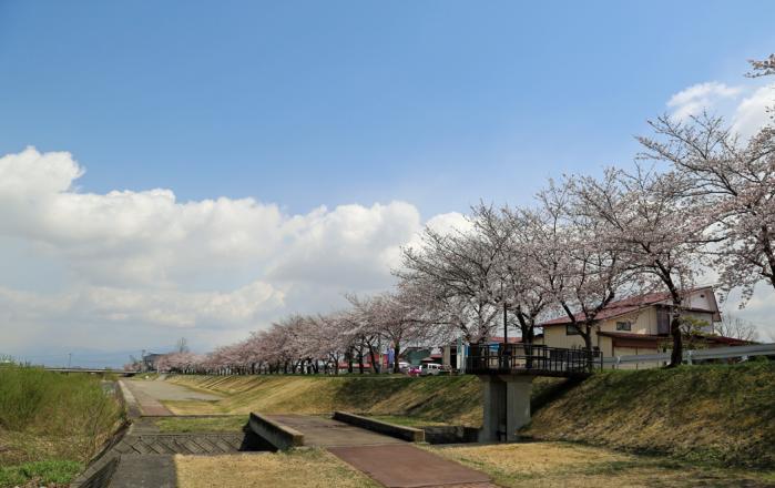 伊佐須美神社桜7