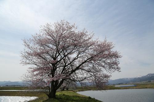 会津高田桜0425-6