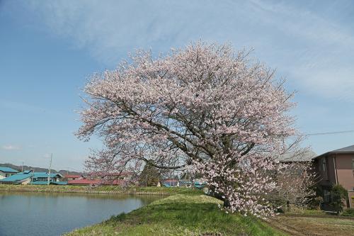 会津高田桜0425-7