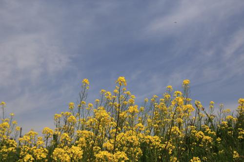 日橋川菜の花1s