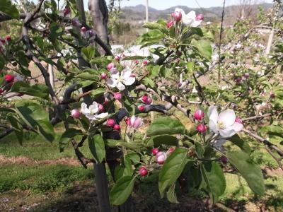 リンゴの花たち