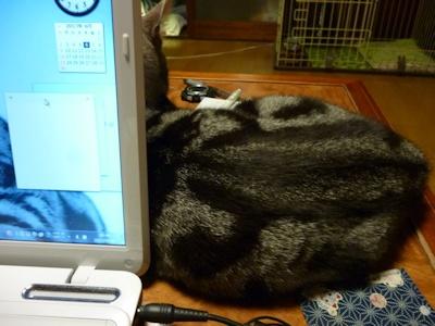 ヒトの寝待ちをする猫ら2