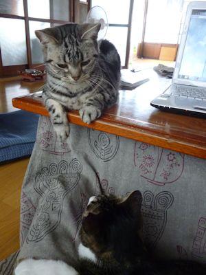 かち合う猫1