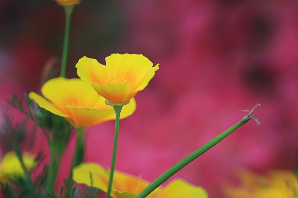 メディテレーニアンハーバーのドック アプローチの黄色い花(ディズニーシー・トランジットスチーマーライン)