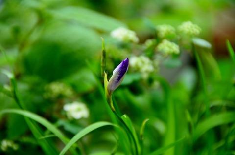 咲き始め八重咲きヒメシャガ
