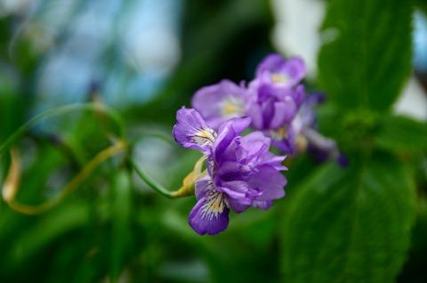 八重咲きヒメシャガ