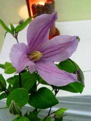 クレマチス開花