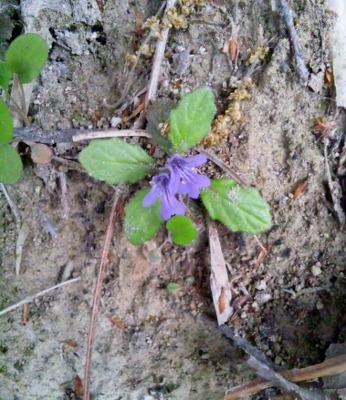 スミレに似た花