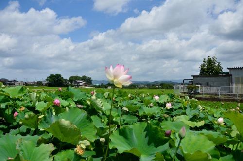 蓮畑 (2)