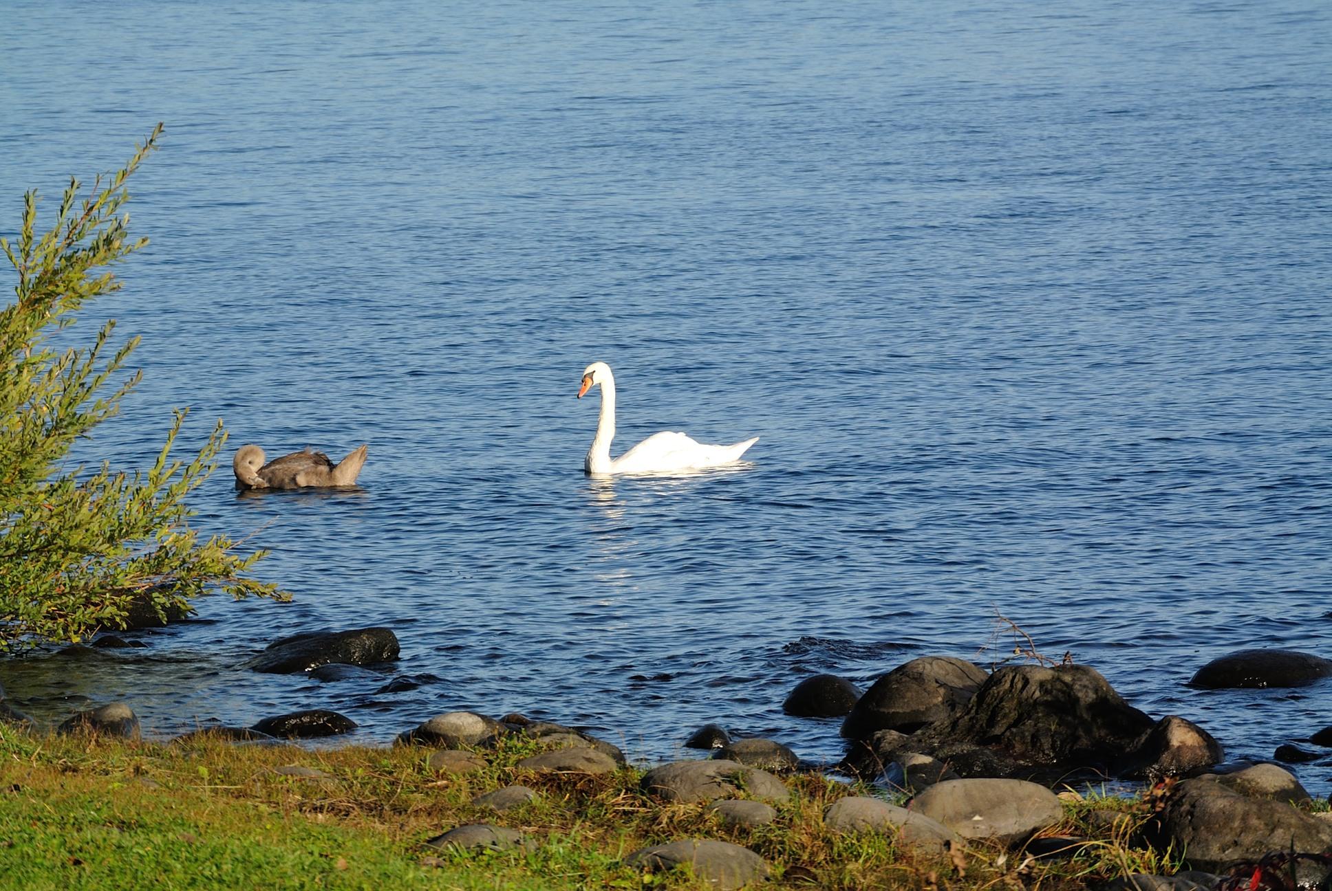 洞爺湖に白鳥?