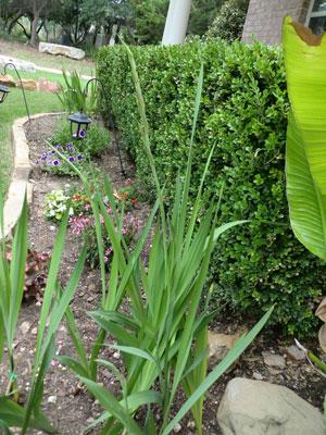 gladiolus1.jpg