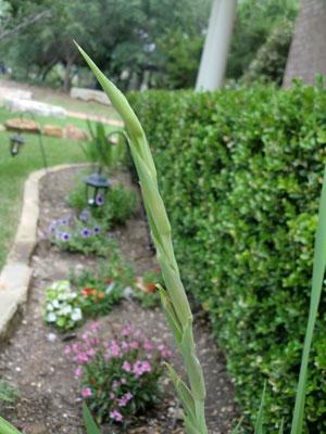 gladiolus2.jpg