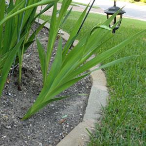 gladiolus4.jpg