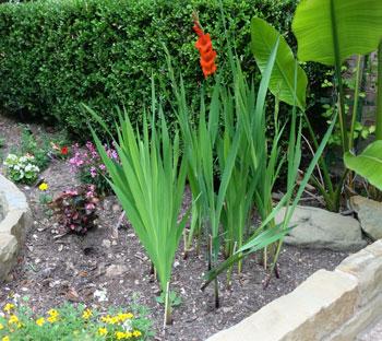 gladiolus9.jpg