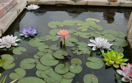 waterlily1301.jpg