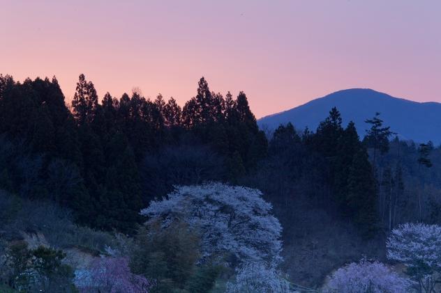 福島の桜3
