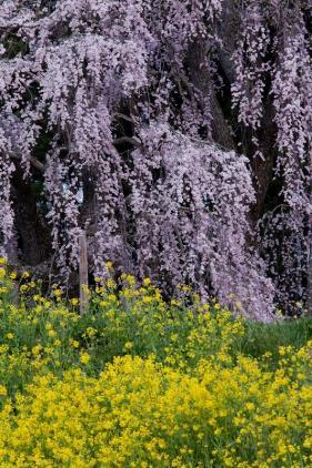 福島の桜4