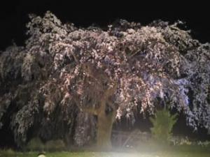 ライトアップ しだれ桜