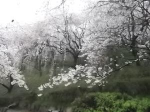 因島 百華園の桜