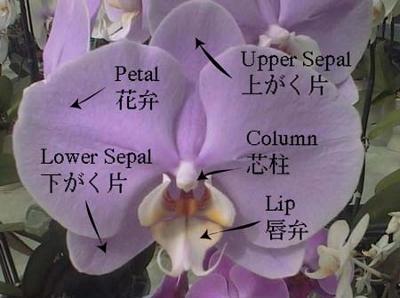 胡蝶蘭の花 (400x298)