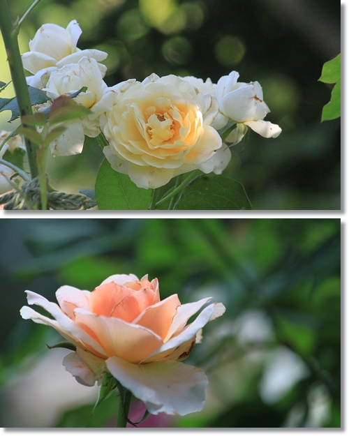 バラ二番花 2
