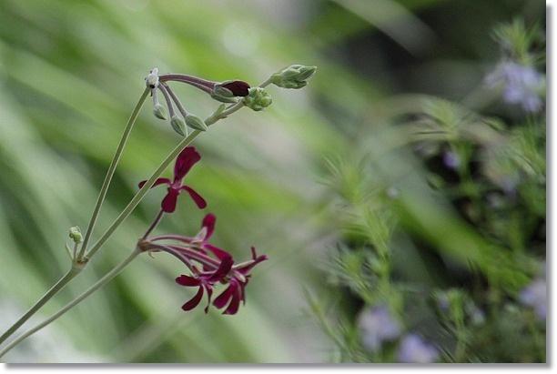 南面花壇 イングランド・バイオレット 2