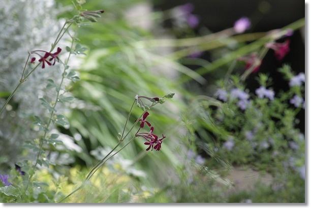 南面花壇 イングランド・バイオレット 1