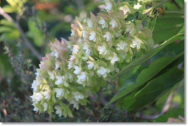 花木花壇のカシワバアジサイ(7月10日)