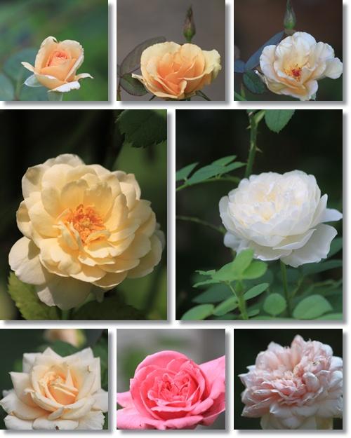 7月のバラ