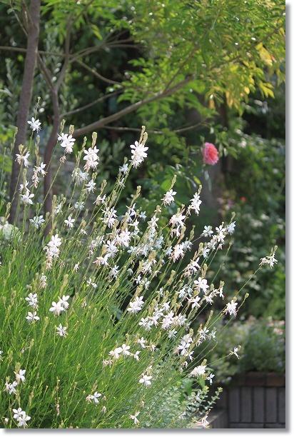 花木花壇 ガウラ
