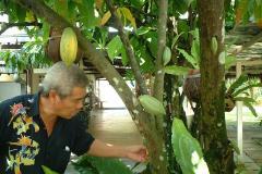 273マレー村 カカオの木
