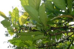 271マレー村 カカオの花