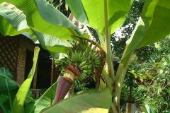 270マレー村 バナナ