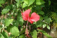 248マレーシアの国花