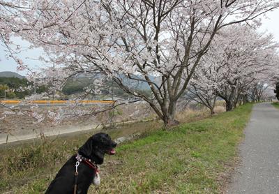 お散歩も桜並木