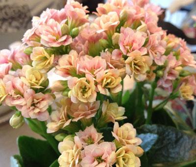 春のピンク カランコエ