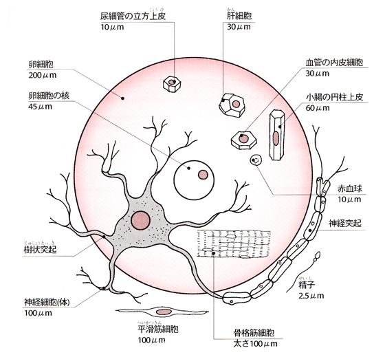体内細胞の大きさの比較