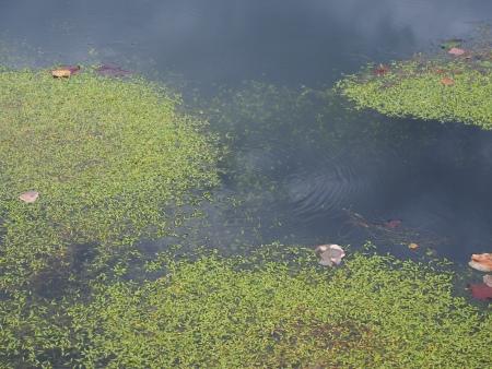 ホソバミズヒキモ 池