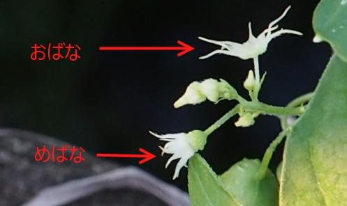 ゴキヅル雄雌花