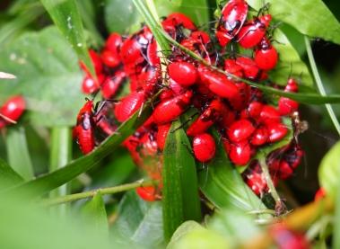 6ベニツチカメムシ 幼虫
