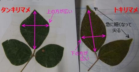 タンキリマメとトキリマメの葉1