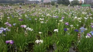 花菖蒲の群生